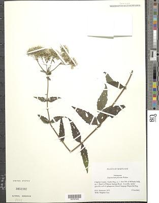Eupatorium pilosum Walter