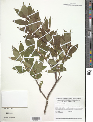 Ilex verticillata (L.) A. Gray