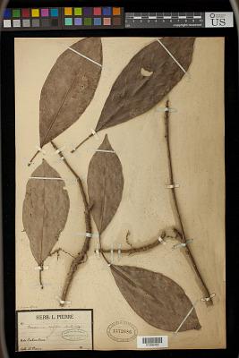 Baccaurea ramiflora Lour.