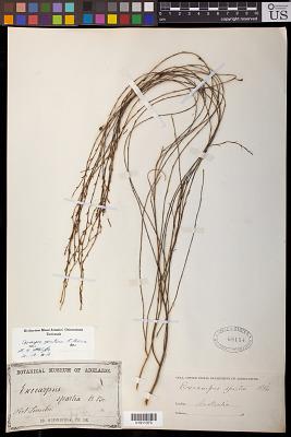 Exocarpus sparteus Aiton