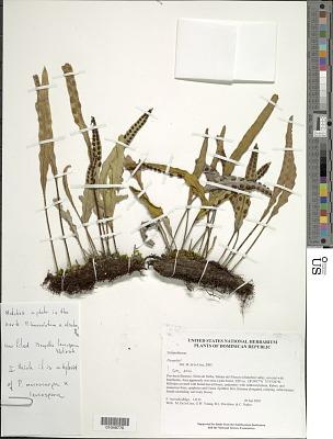 Pleopeltis x leucospora (Klotzsch) L.B. Moore