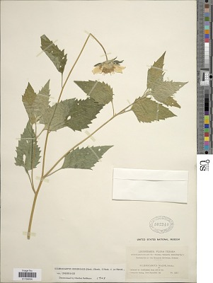 Sclerocarpus uniserialis (Hook.) Benth. & Hook. f. ex Hemsl. var. uniserialis
