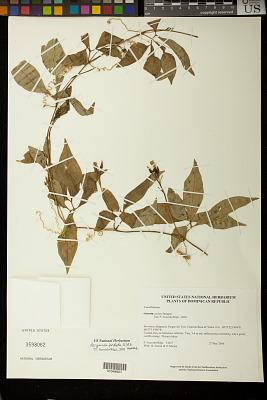 Psiguria pedata (L.) R.A. Howard