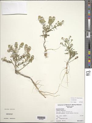 Lepidium virginicum L.