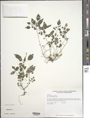 Pilea parietaria (L.) Blume