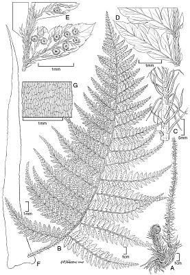 Polystichum uahukaense Lorence & W.L. Wagner