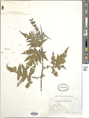 Franseria artemisioides Willd.
