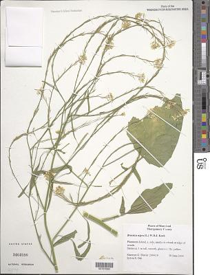 Brassica nigra (L.) W.D.J. Koch