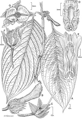 Glossoloma subglabrum J.L. Clark