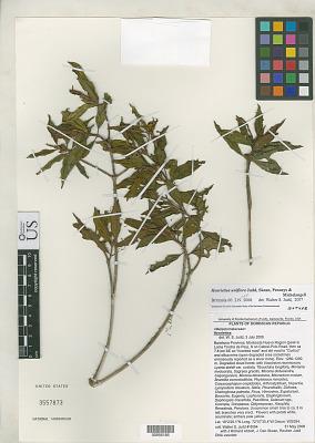 Henriettea uniflora Judd & et al.