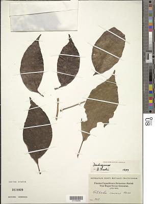 Dendropanax caucanus (Harms) Harms