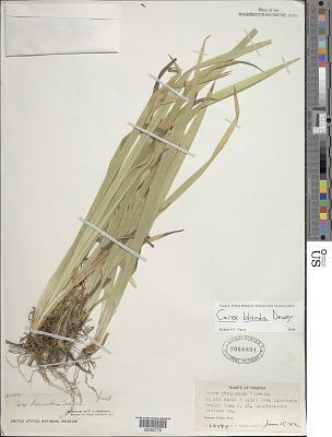 Carex blanda Dewey
