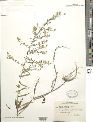 Symphyotrichum pilosum var. pringlei (A. Gray) G.L. Nesom