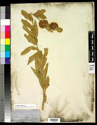 Asclepias viridiflora Raf.