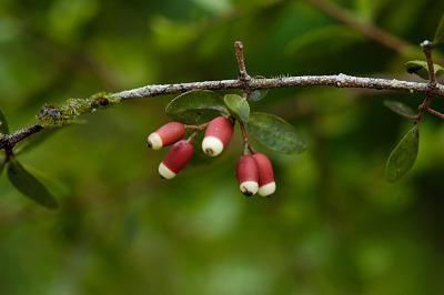 Dendropemon picardae Krug & Urb.
