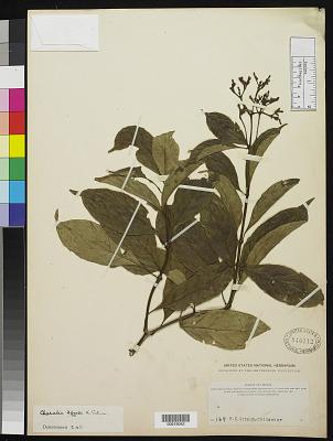 Chazaliella afzelii K. Schum.