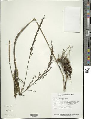 Myriocladus distantiflorus Swallen in Maguire