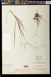 Paspalum strigosum Döll in Mart.