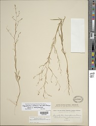Gayophytum diffusum subsp. parviflorum F.H. Lewis & Szweyk.