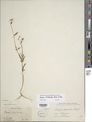 Clarkia rhomboidea Douglas ex Hook.