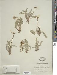 Oenothera brachycarpa A. Gray
