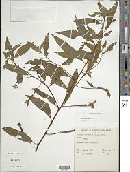 Ludwigia octovalvis (Jacq.) P.H. Raven