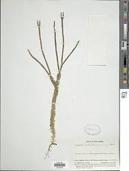 Huperzia patentissima (Alderw.) Holub