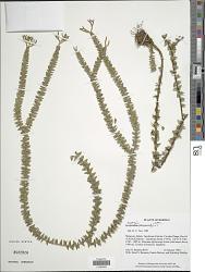 Huperzia phlegmaria (L.) Rothm.