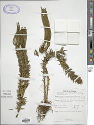 Huperzia macrostachys (Spring) Holub