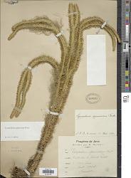 Huperzia squarrosa (G. Forst.) Trevis. f. squarrosa