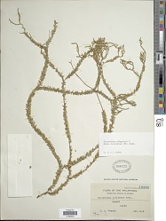 Huperzia phlegmaria f. divaricatum Blume