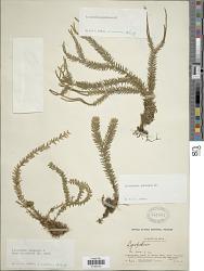Huperzia pinifolia (Blume) Trevis.