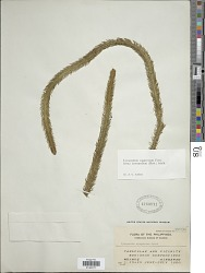 Huperzia squarrosa f. intermedium