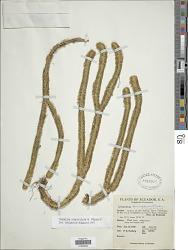 Huperzia unguiculata B. Øllg.