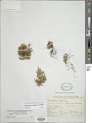 Selaginella watsonii