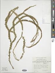 Huperzia nummulariifolia (Blume) Jermy