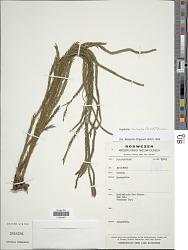 Huperzia carinata (Desv. ex Poir.) Trevis.