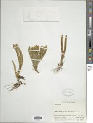 Huperzia selago (L.) Bernh. ex Schrank & Mart.