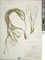 Huperzia banayanica (Herter) Holub