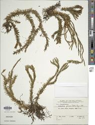 Huperzia piscium (Herter) Holub