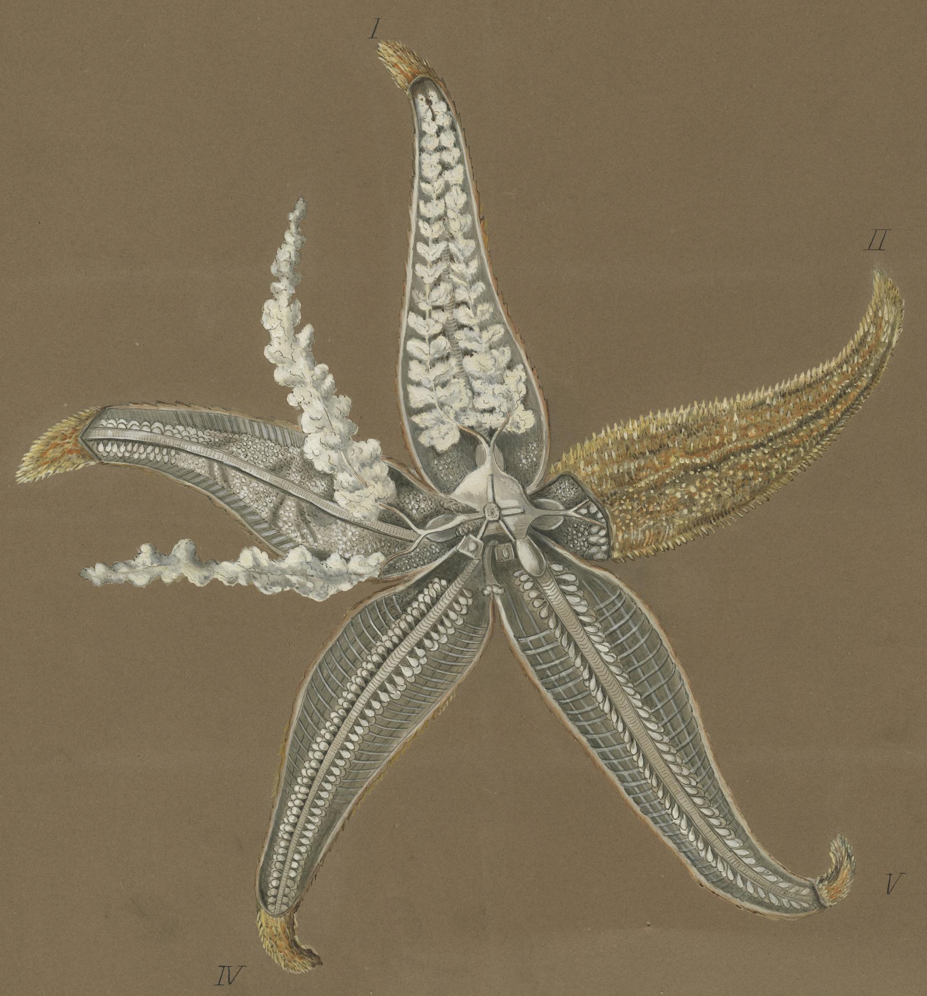 images for Asterias rubens Linnaeus, 1758