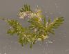images for Caulerpa elongata Weber Bosse-thumbnail 2