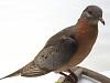 images for Ectopistes migratorius-thumbnail 1