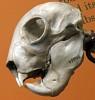 images for Daubentonia madagascariensis-thumbnail 2