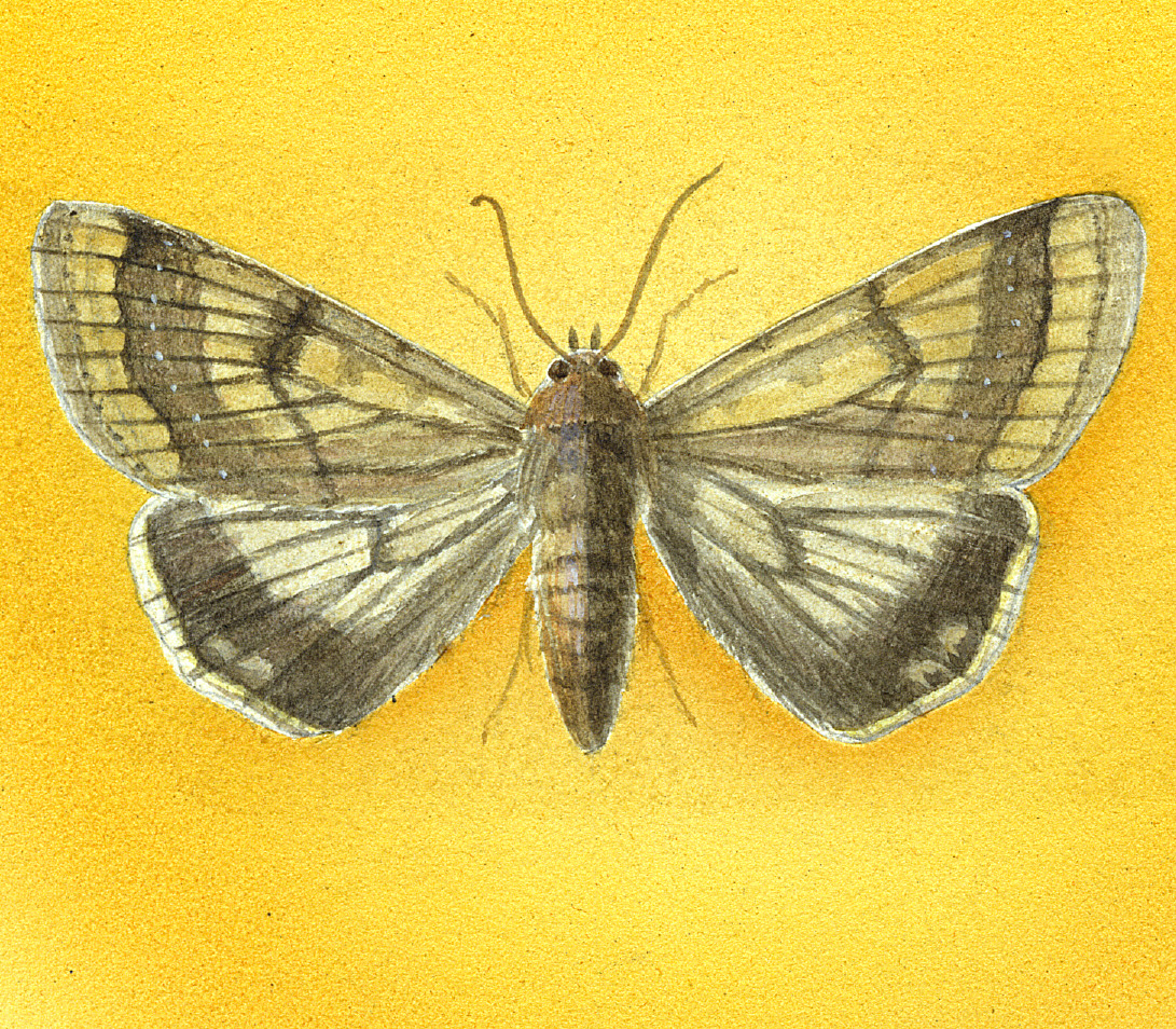images for Lepidoptera