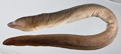 Gymnothorax thyrsoideus