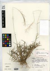 Leptochloa srilankensis N. Snow