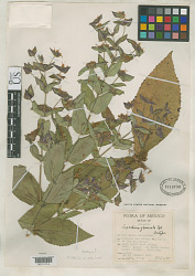 Lepechinia glomerata Epling