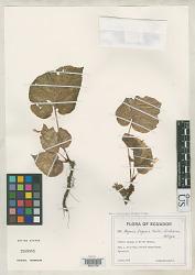 Begonia lugonis L.B. Sm. & Wassh.