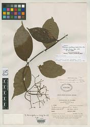 Viburnum cornifolium Killip & A.C. Sm.